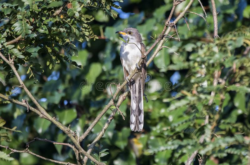 Yellow Billed Cuckoo bird, Walton County, Georgia USA. The yellow-billed cuckoo Coccyzus americanus folk-names for this bird in the southern United States are stock photography