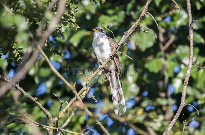 Yellow Billed Cuckoo bird, Walton County, Georgia USA. The yellow-billed cuckoo Coccyzus americanus folk-names for this bird in the southern United States are stock photo