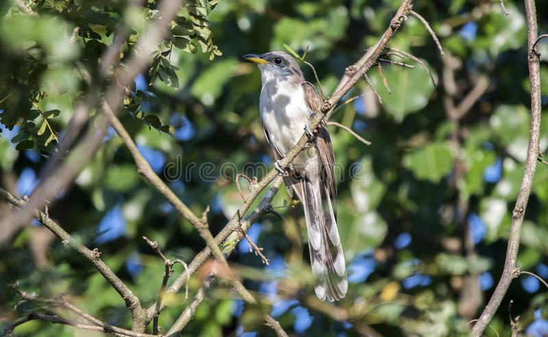 Yellow Billed Cuckoo bird, Walton County, Georgia USA. The yellow-billed cuckoo Coccyzus americanus folk-names for this bird in the southern United States are royalty free stock photography