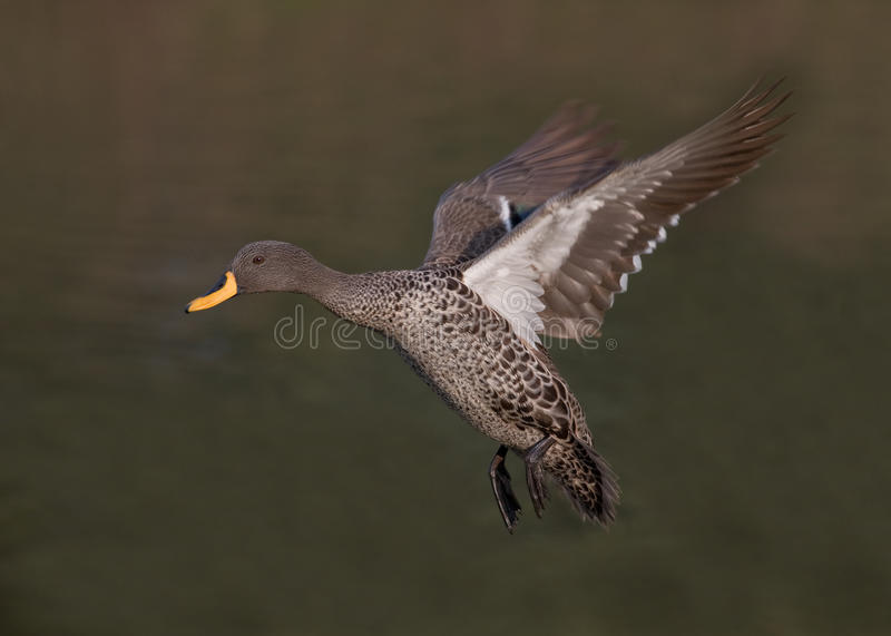 Yellow-billed duck royalty free stock photos