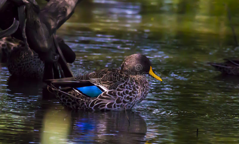 Yellow-billed Duck, Anas undulata royalty free stock images