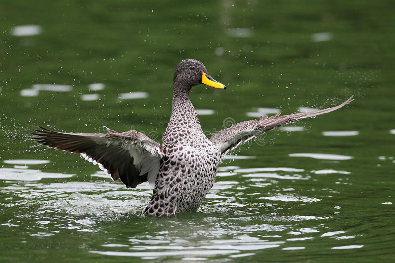 Download Yellow Billed Duck stock image. Image of angle, wings - 36984351