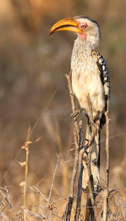 Yellow billed hornbill stock photography