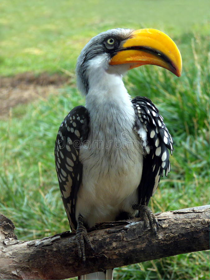 Yellow Billed Hornbill. African Yellow Billed Hornbill perched on a limb royalty free stock photography