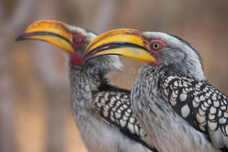 Download Yellow Billed Hornbills Stock Photography - Image: 20625202