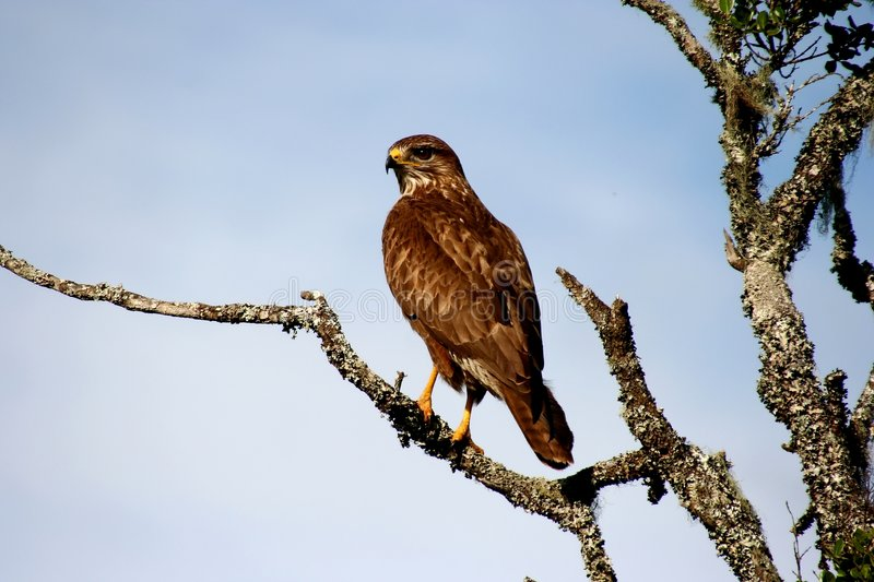 Yellow Billed Kite royalty free stock images