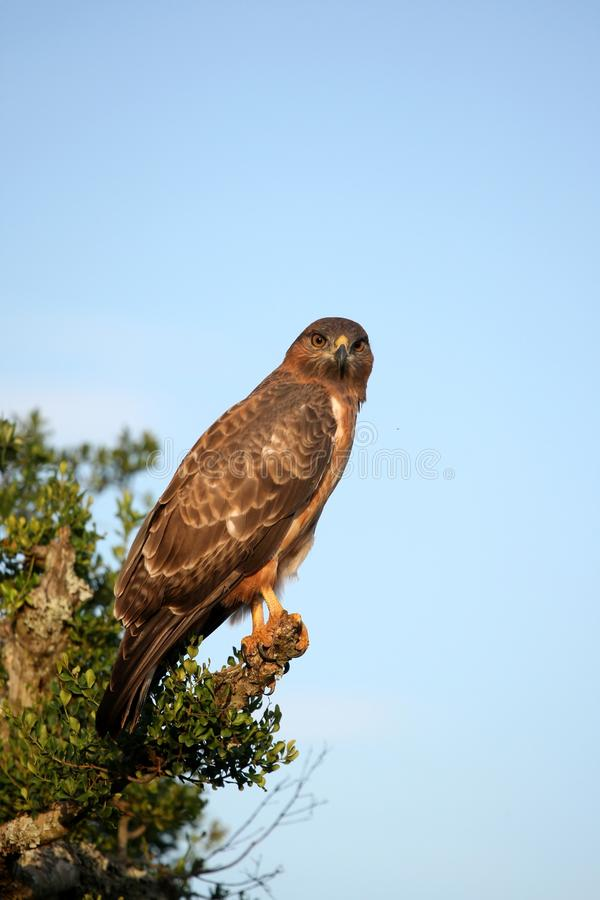 Yellow billed kite bird stock photography