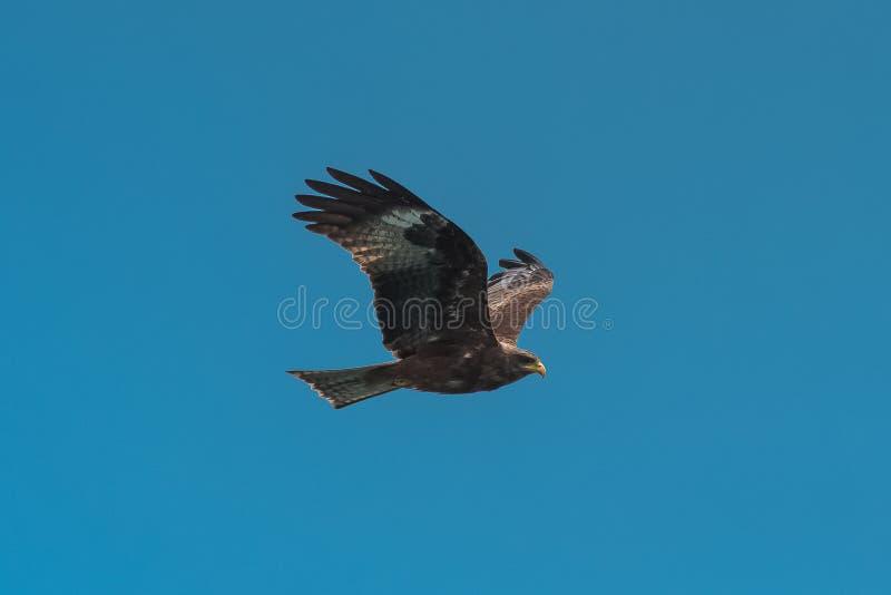 Yellow-billed Kite, bird stock images