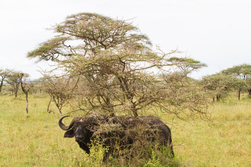 Cape buffalo and Yellow-billed oxpecker in Serengeti National Park, Tanzania stock images