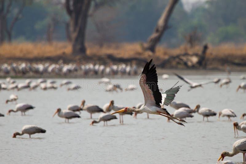 Yellow-billed Stork. Safari South Luangwa, Zambia stock photography