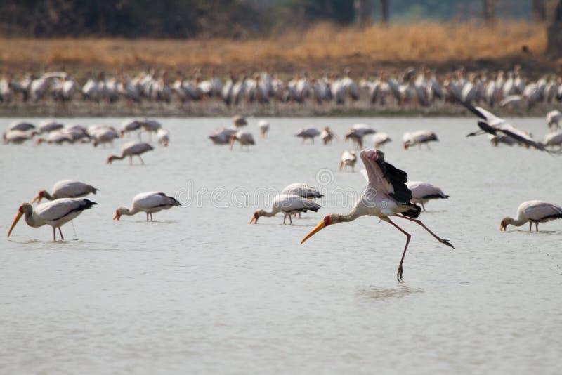 Yellow-billed Stork. Safari South Luangwa, Zambia royalty free stock photos
