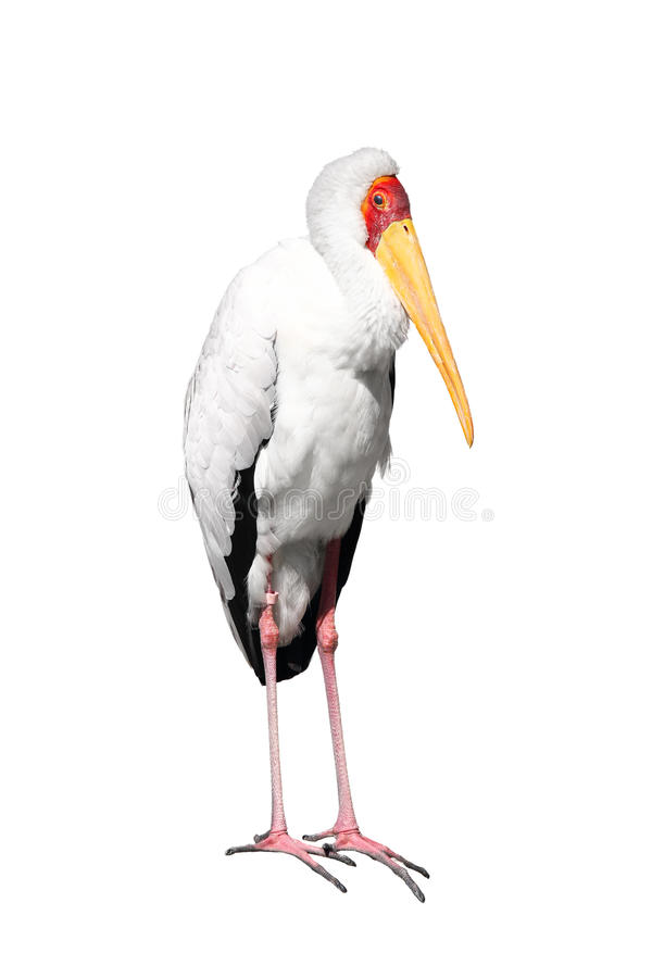 Download Yellow-billed stork stock photo. Image of photography - 19059918
