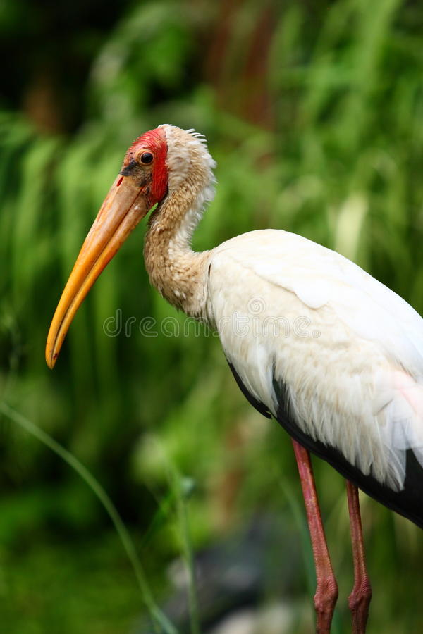 Yellow-billed Stork. The Yellow-billed Stork, Mycteria ibis, is a large wading bird in the stork family Ciconiidae. It occurs in Africa south of the Sahara and stock image