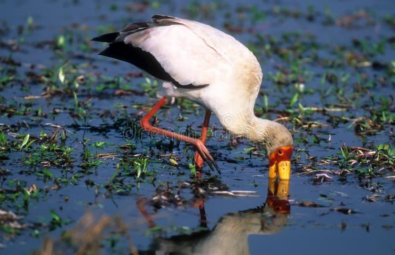 Yellow-billed stork. Hunting yellow-billed stork in water in Okavango delta Botswana royalty free stock images