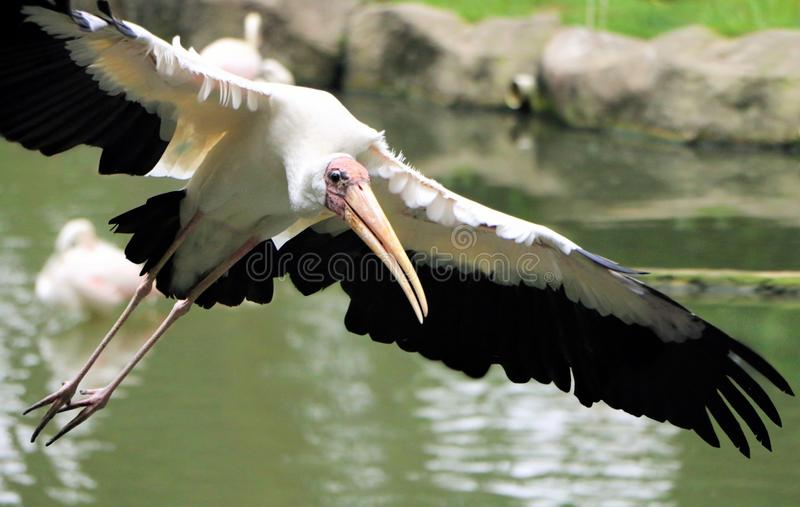 Yellow billed Stork bird flying near water. Image of Yellow billed Stork bird flying near water stock image