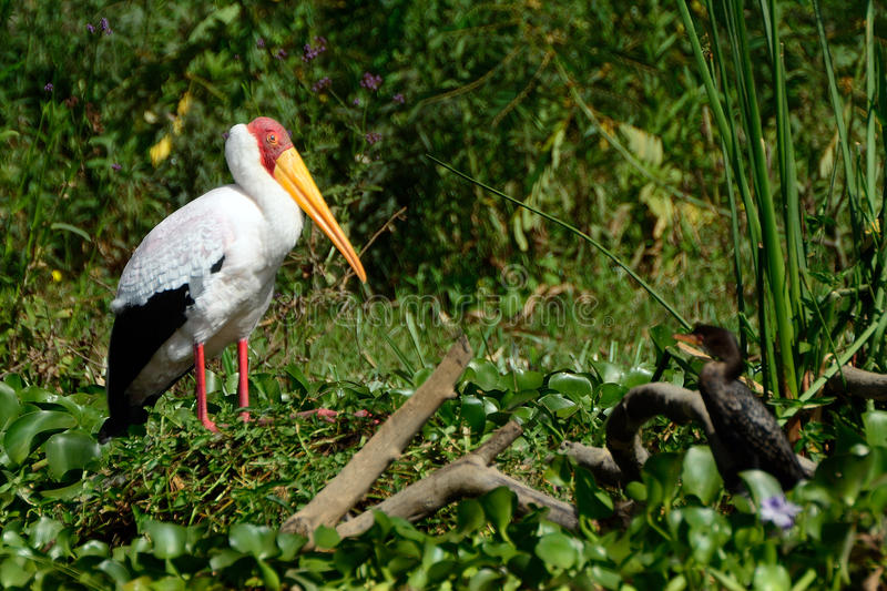 Yellow-billed stork and a cormorant, Lake Naivasha, Kenya. Yellow-billed stork and a cormorant at Lake Naivasha, Kenya royalty free stock images