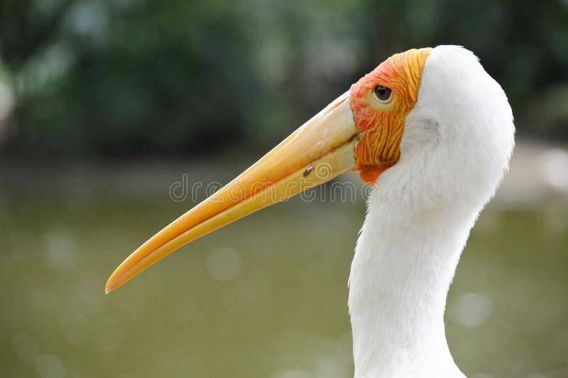 Yellow billed stork. Facial close up on a yellow billed stork stock photography