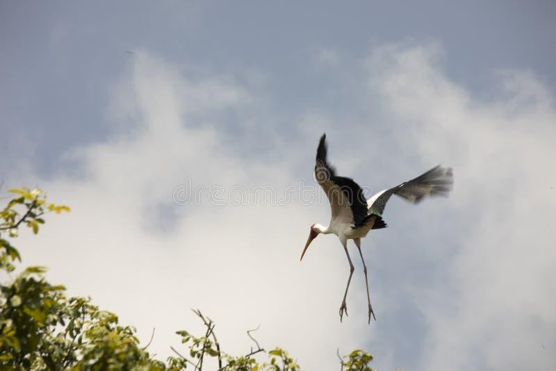 Yellow billed stork in flight, Lake Manyara National Park, Tanzania. Migratory yellow billed stork in flight in tree tops in Lake Manyara National Park royalty free stock photo