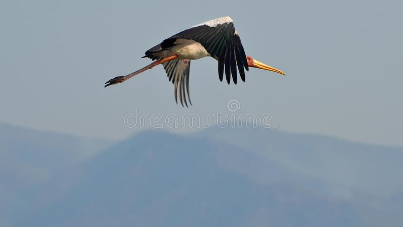 Yellow-billed stork. A yellow-billed stork flying through the air in zimbabwe royalty free stock image