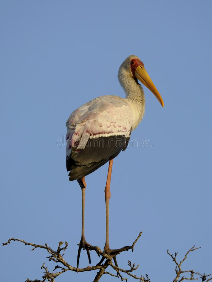 Yellow billed stork. Kruger National Park South Africa wildlife birds yellow billed stork royalty free stock images
