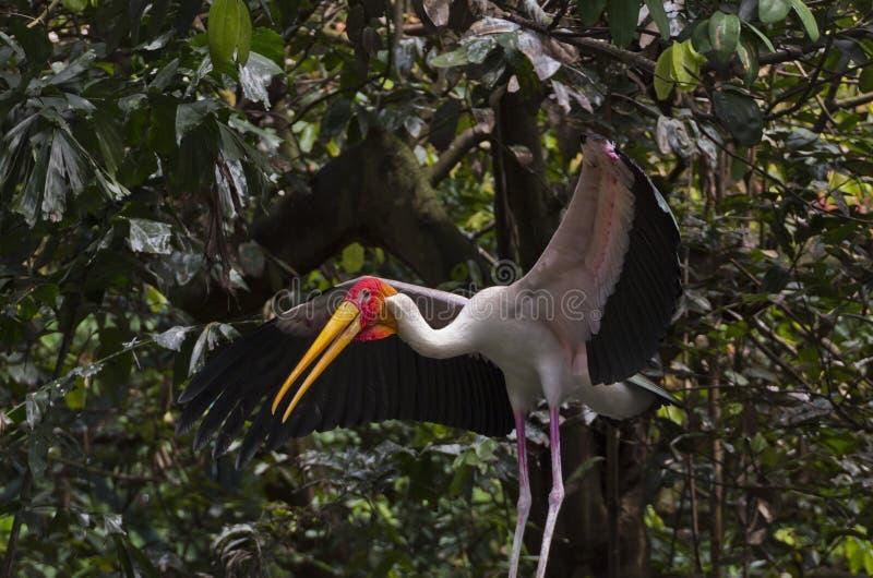 Download Yellow Billed Stork Stock Photo - Image: 55099293