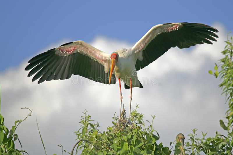Yellow-billed Stork (Mycteria ibis). Landing in the breeding rookery in southern Africa royalty free stock images