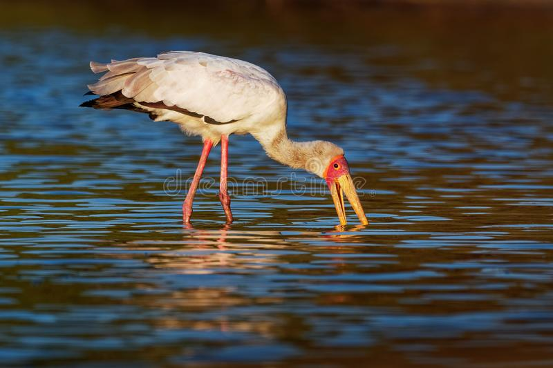 Yellow-billed Stork - Mycteria ibis also wood stork or ibis, large African wading stork species family Ciconiidae, widespread royalty free stock photography