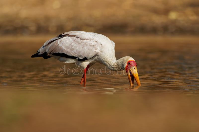 Yellow-billed Stork - Mycteria ibis also wood stork or ibis, large African wading stork species family Ciconiidae, widespread stock photos