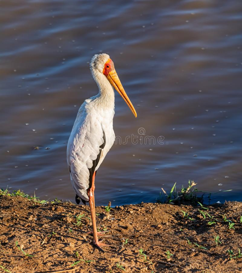 Yellow-billed Stork. A Yellow-billed Stork in Southern African savanna royalty free stock photo