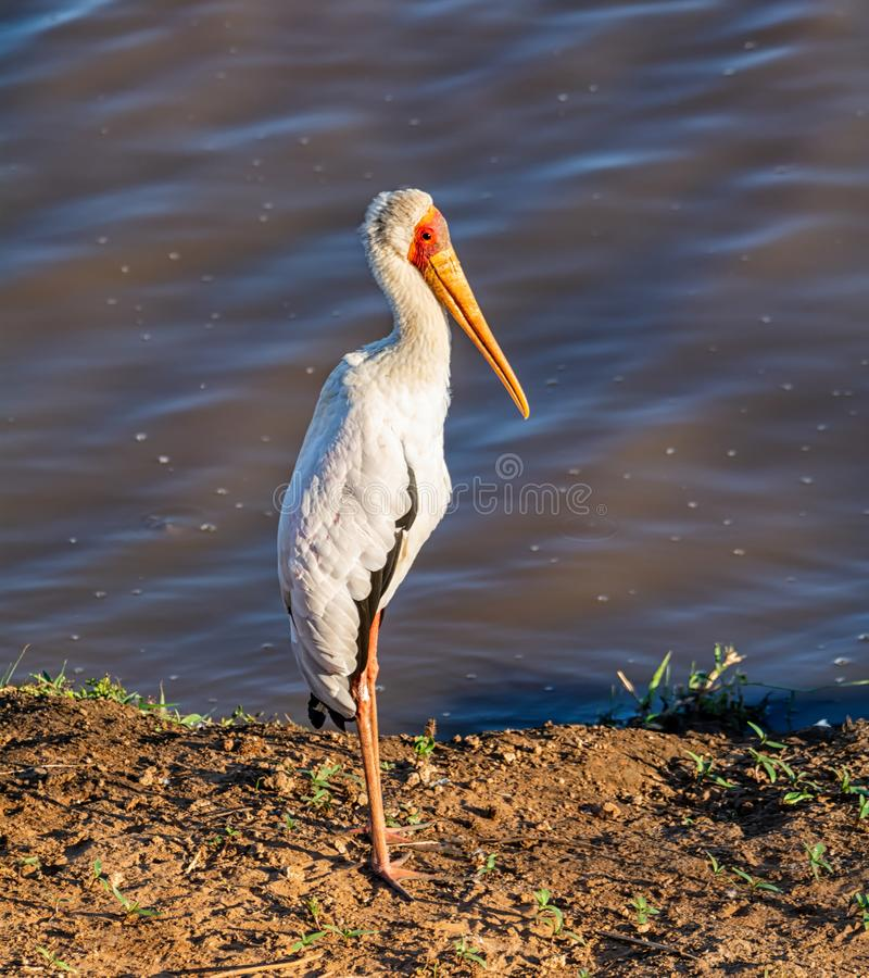 Yellow-billed Stork. A Yellow-billed Stork in Southern African savanna stock photos