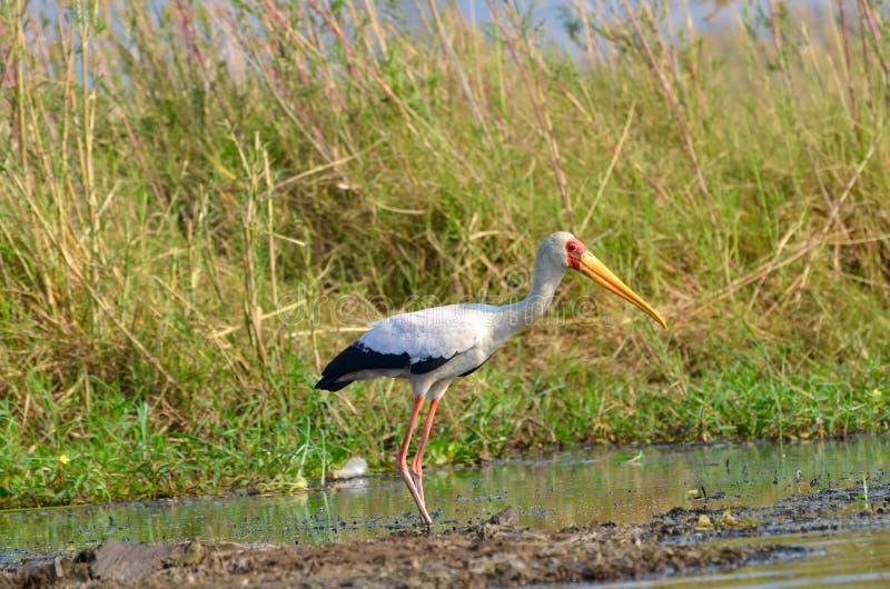 Yellow-billed stork. A yellow-billed stork walking along the shore of the zambezi river stock photography