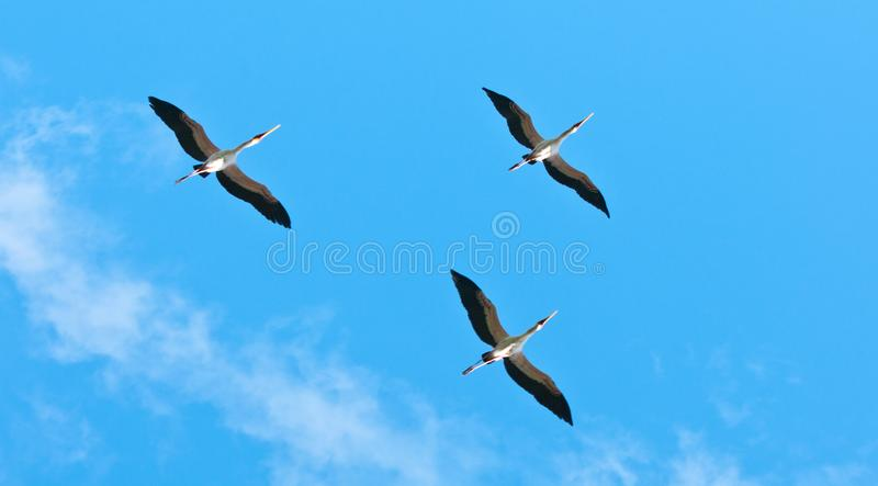 Yellow billed storks flying in the sky - national park selous game reserve in tanzania royalty free stock image