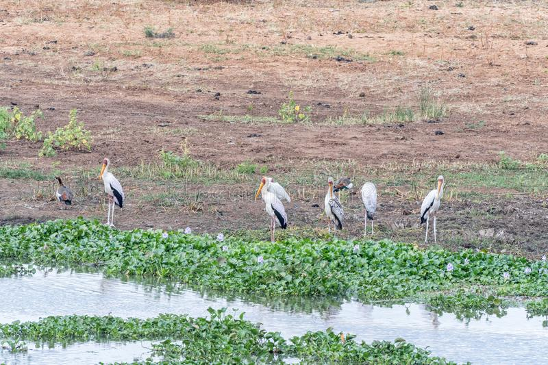 Yellow-billed storks next to hyacinth plants in a river. Yellow-billed storks, Mycteria ibis, next to hyacinth plants in a river royalty free stock image