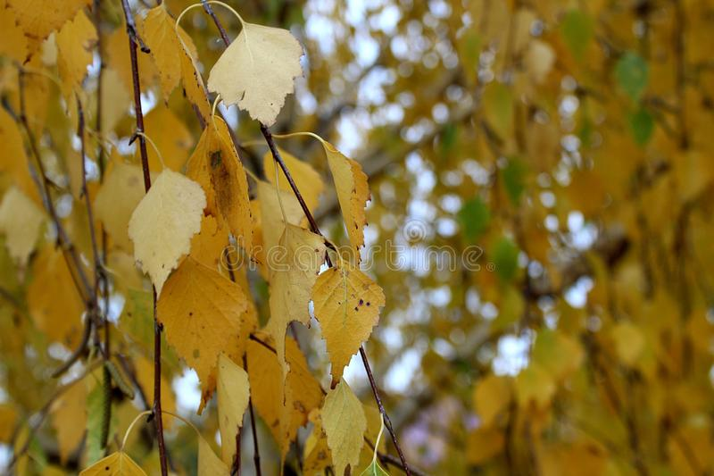 Yellow birch autumn royalty free stock photo