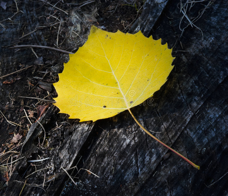 Download Yellow birch leaf stock photo. Image of background, macro - 1166572