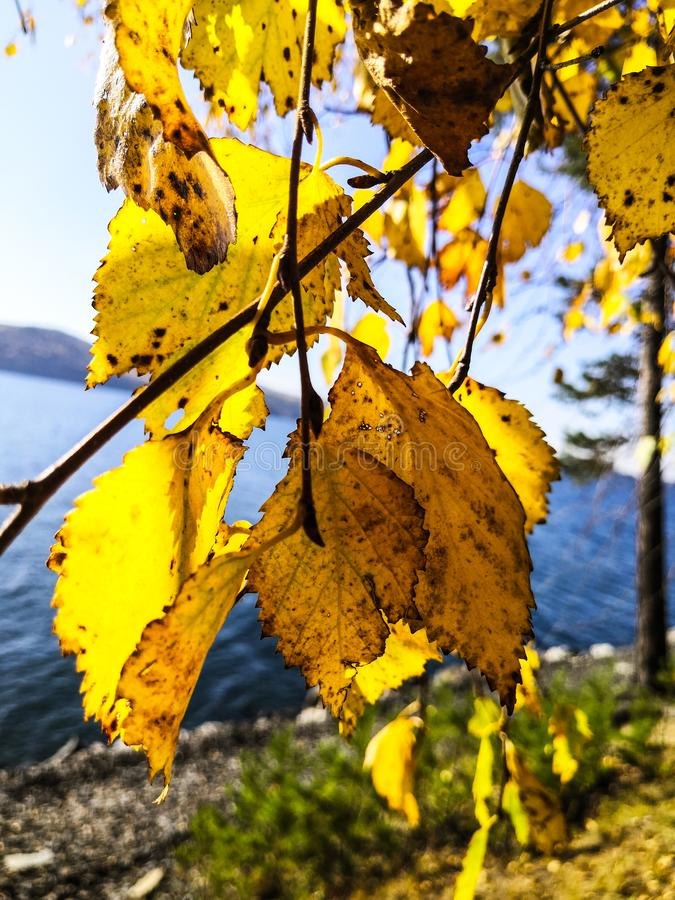 Yellow birch leaf on the first snow. autumn royalty free stock photo
