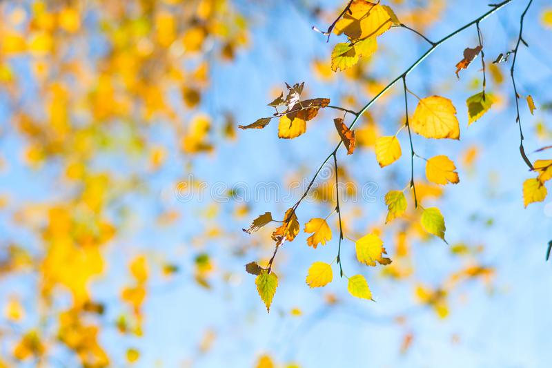 Yellow birch leaves on blue sky background. Autumn fall. Soft focus.  royalty free stock photography
