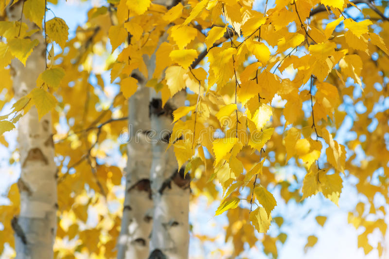 Yellow birch leaves stock images