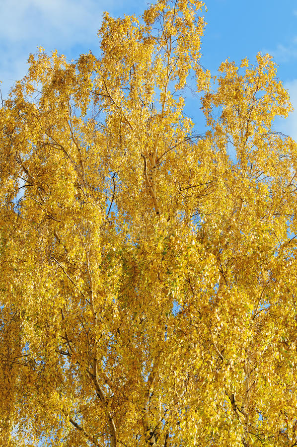 Yellow Birch Tree Royalty Free Stock Images