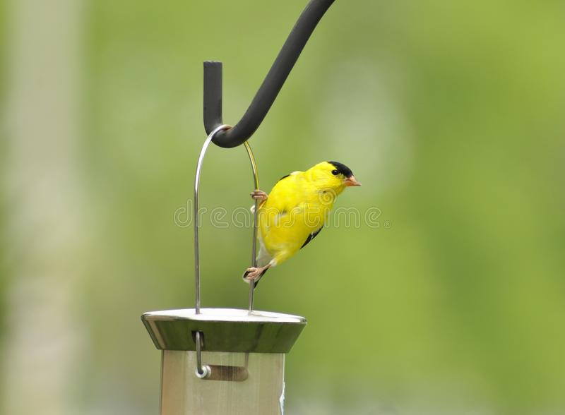 Yellow bird. A yellow bird looking for seeds royalty free stock photo