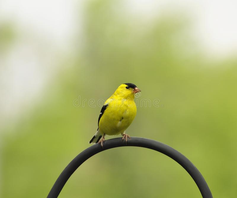 Yellow bird. A yellow bird looking for seeds royalty free stock images