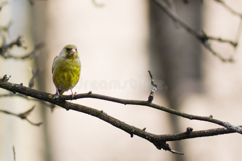 Yellow bird. Sits on a apple branch royalty free stock images