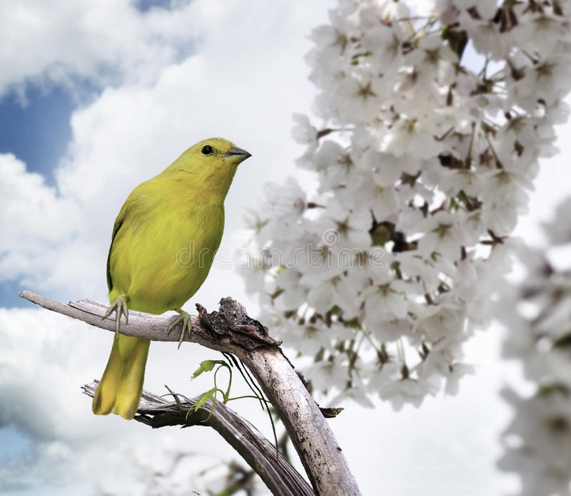 Yellow Bird. Perching On A Branch stock photography