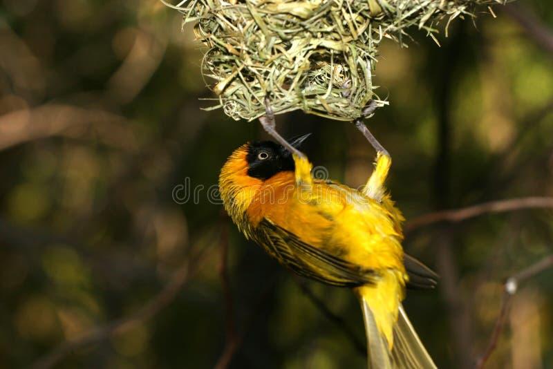 Yellow bird stock image
