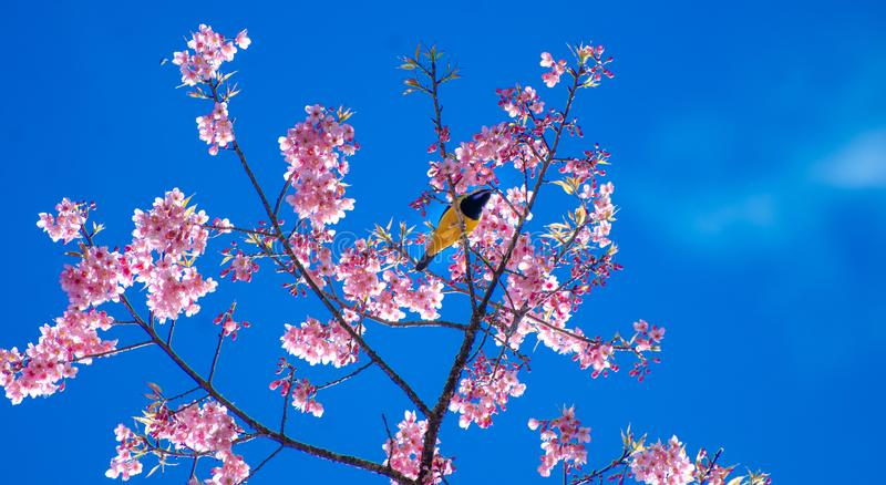 Yellow bird blue background perched on the branches Sakura royalty free stock photography