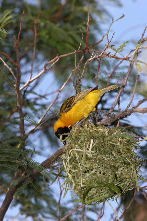Yellow bird building his nest stock photography