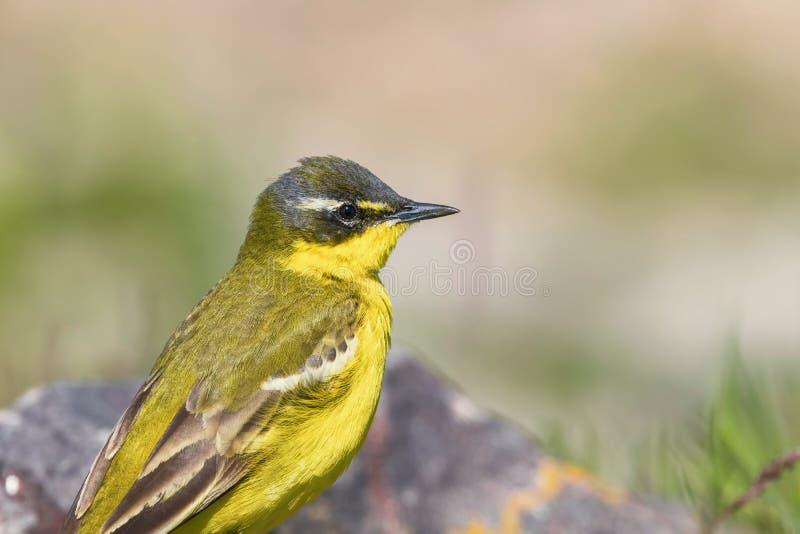 Yellow Bird Close Up, Western Yellow Wagtail Motacilla flava. Wildlife stock image