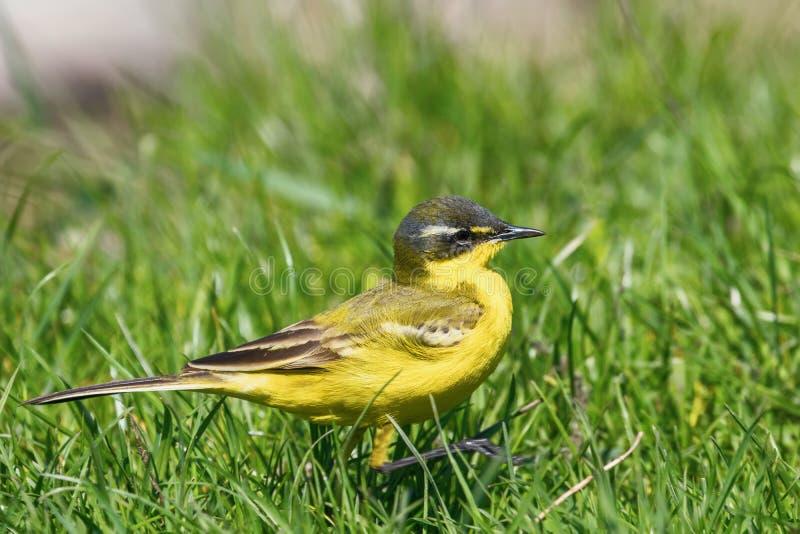 Yellow Bird Close Up, Western Yellow Wagtail Motacilla flava. Wildlife royalty free stock image