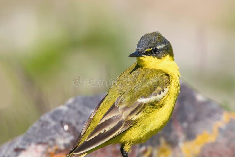 Yellow Bird Close Up, Western Yellow Wagtail Motacilla flava. Wildlife stock photo