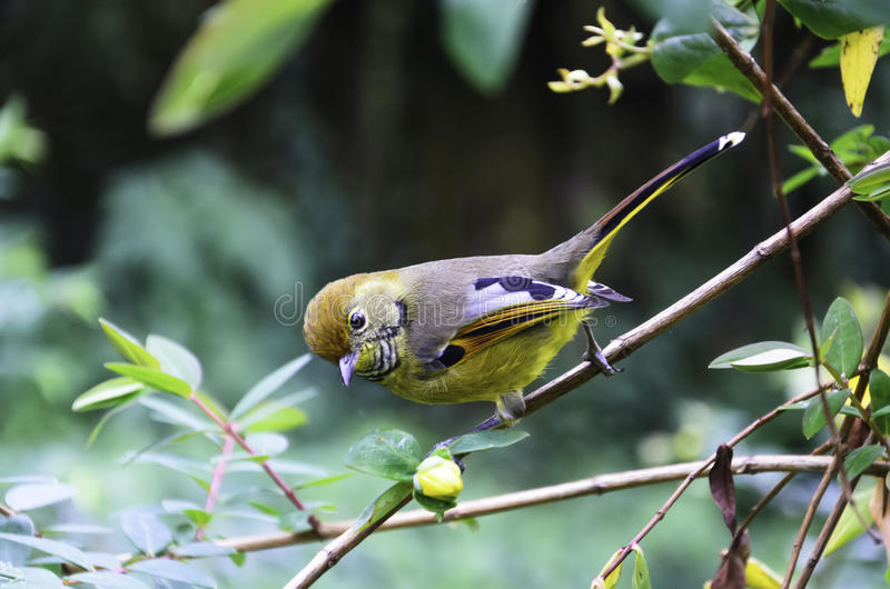 Yellow bird. In the jungle of northern Thailand stock photos